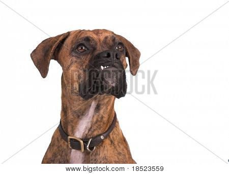 grouchy boxer dog isolated over white