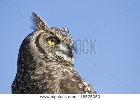 reticulated eagle owl closeup over blue sky