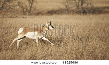 pronghorn antelope running through grassland of South Dakota, USA