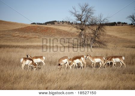 herd of pronghorn antelope in south dakota