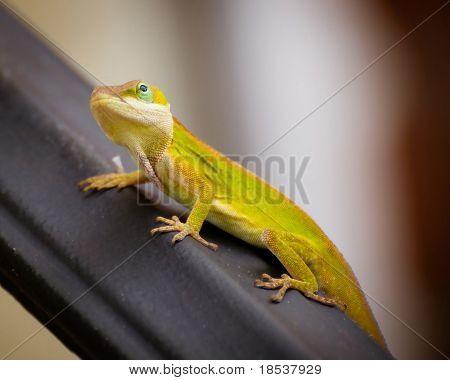 Portrait of green Carolina anole lizard.