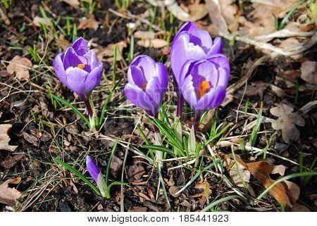 Early springtiime with shiny blossom crocus flowers