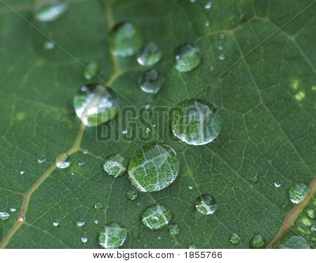 Water Droplets On Leaf Ii
