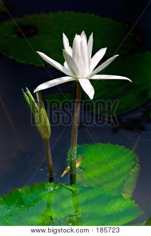 Waterlilly And Bud