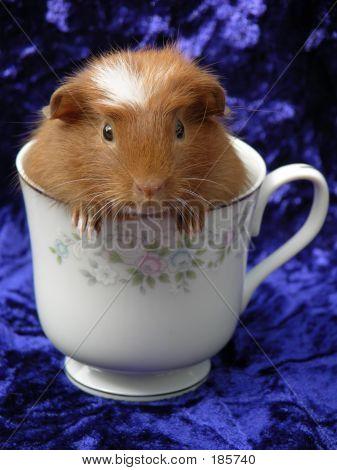 Teacup Guinea Pig