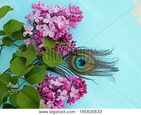 A still life of a bunch of pink fragrant Lilacs on a wooden blue background and a peacock feather with copy space