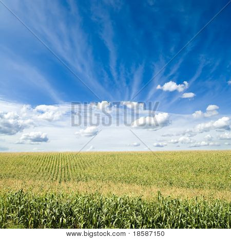field of green maize under blue cloudy sky