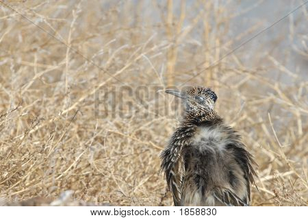 Ruffled Roadrunner