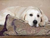 purebred golden retriever lounging on pillow, studio shot poster