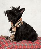 stock photo of scottie dog  - scottish terrier looking up at master - JPG