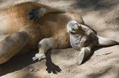 stock photo of wallow  - Kangaroo  - JPG