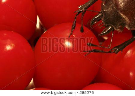 Endangered Tomatoes