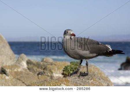 Heermanns Gull On Rocks