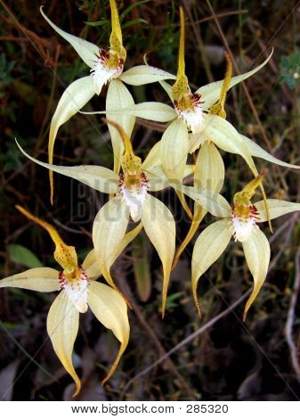Flowers - Spider Orchid