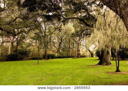 Green Lawn Under Southern Oaks