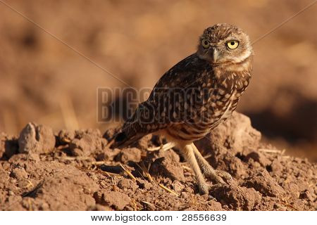 Burrowing Owl With Long Look