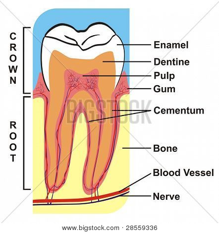 VECTOR - Cross Section of Tooth (Crown & Root) --- including the parts (enamel, dentine, pulp, gum, cementum, bone, blood vessel, nerve) --- for Education Purpose & Clinics