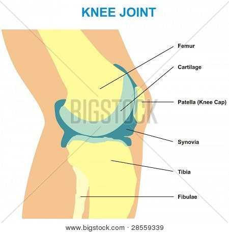 VECTOR - Knee Joint Cross Section - Showing the major parts which made the knee joint (Femur, Cartilages, Patella, Synovia & Tibia) - For Basic Medical Education - Also for clinics