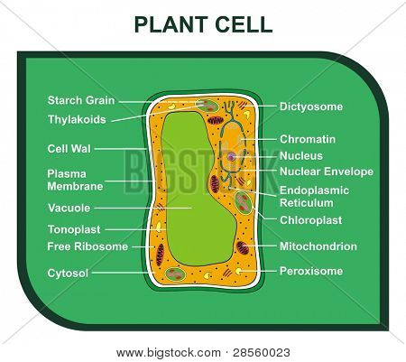 VECTOR -  Cross-Section of PLANT CELL including Al  Parts ( cell wall, ribosomes, plasma membrane, chromatin, nucleus, chloroplast, reticulum, mitochondrion ... ) Helpful for Education & Schools