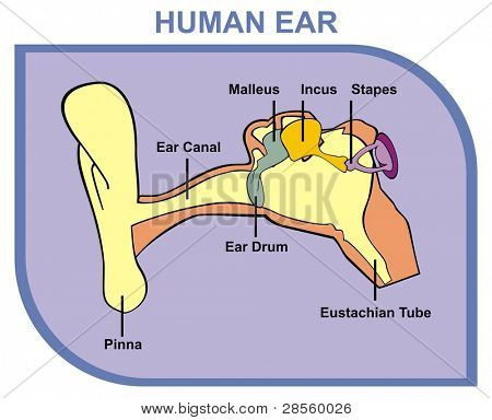 VECTOR - Human Ear - Including External, Middle & Outer Ear - Parts are Shown (Pinna, Ear Canal, Ear Drum, Malleus, Incus, Stapes, Eustachian Tube) - Useful For School, Medical Education and Clinics