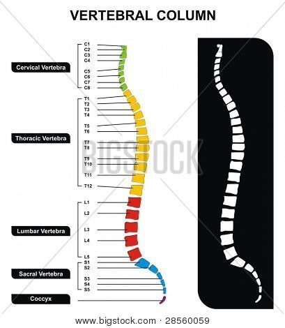 VECTOR - Vertebral Column (Spine) Diagram including Vertebra Groups ( Cervical, Thoracic, Lumbar, Sacral ) - Useful For Medical Education and Clinics