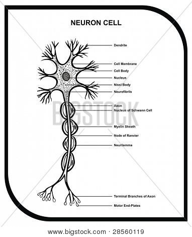 VECTOR - Human Neuron Cell - Including Cell Parts ( dendrite, nucleus, myelin sheath, axon, body, membrane, terminal branches, motor end ... ) - Useful for Education