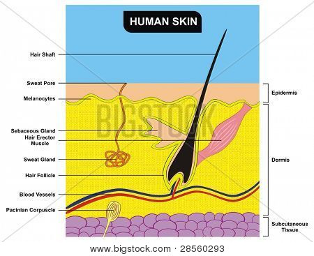 Human Skin Cross-Section