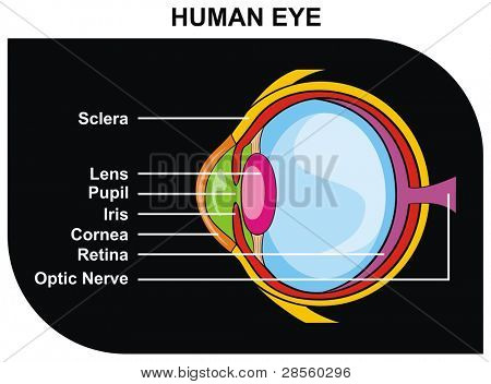 Human Eye Cross-Section including Eye Parts (sclera, lens, pupil, iris, cornea, retina, optic nerve ) - Helpful for Clinic and Education in school, college, university - Medical Diagram
