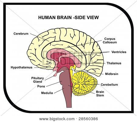 Human Brain Diagram - Side View with Parts ( Cerebrum, Hypothalamus, Thalamus, Pituitary Gland, Pons, Medulla, Brain Stem, Cerebellum, Midbrain ...) - For Medical & Educational Use