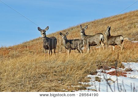 Four Deer on A Hill