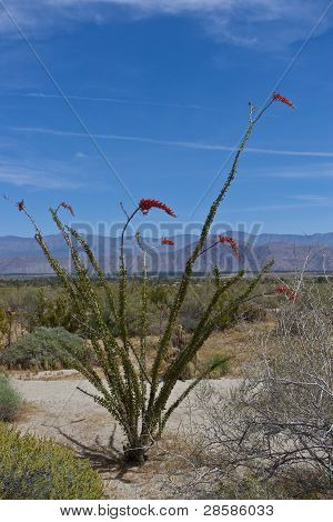 Ocotillo Cactus In Bloom In Anza Borrego Desert. California, Usa