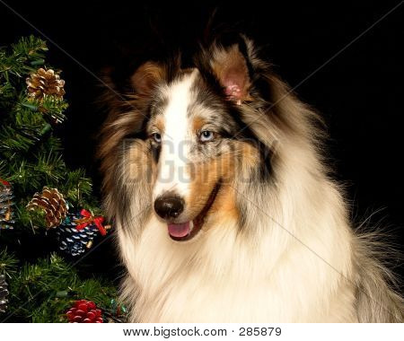 Christmas Sheltie