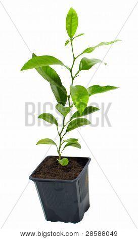 Pequeñas macetas planta de cítricos, aislado en blanco