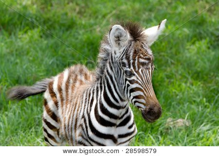 Baby zebra at Lake nakuru national reserve