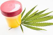 Cannabis Or Marijuana Urine Test. Laboratory Urine Container Stands On Green Leaf Of Hemp On White B poster