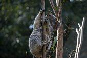 The Joey Koala Is Eating  Eucalyptus Leaves poster