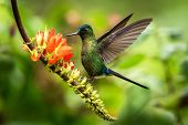 Violet-tailed Sylph Hovering Next To Orange Flower,tropical Forest, Peru, Bird Sucking Nectar From B poster