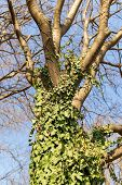 Tree Trunk Entwined With Curly Green Ivy Against A Blue Spring Sky. The Common Ivy Is An Evergreen C poster