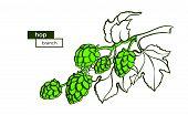 Vector Branch Of Hop. Botany Raw Plant Symbol Of Natural Food, Beverage Art Bio Shape Illustration,  poster