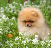 Beautiful orange dog - pomeranian Spitz. Puppy pomeranian dog cute pet happy smile playing in nature poster