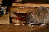 Close-up The Rat (rattus Norvegicus) Chewing Paper Near Pile Of Old Books In The Library. Concept Of poster