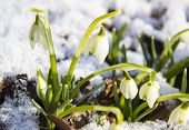 Nature Concept-beautiful Spring Landscape With Flowers Under Snow. Snowdrop In Full Bloom Get Out Fr poster