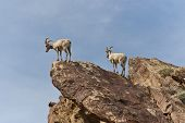 picture of anza  - Desert Bighorn Sheep in Anza Borrego Desert State Park - JPG