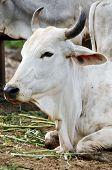 stock photo of zebu  - The Brahman or Brahma is a breed of Zebu cattle  - JPG