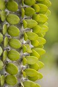 foto of ocotillo  - Close up of a trunk of an Madagascar ocotillo or Alluaudia of the Didierea family - JPG