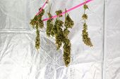 Marijuana. Marijuana and Cannabis growing indoors. Marijuana Grow Tent with lights. Medical and Recr poster