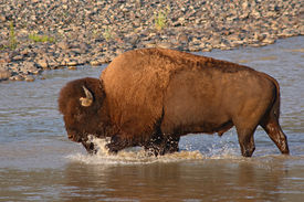 stock photo of lamar  - A large American Bison bull splashing across the Lamar River in Yellowstone National Park. ** Note: Slight graininess, best at smaller sizes - JPG