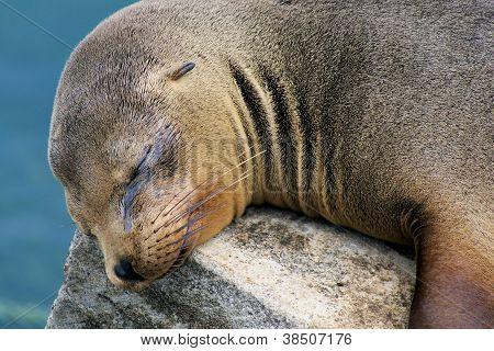 Galapagos-sealion