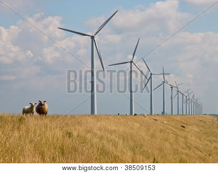 Sheep In Front Of Windturbines