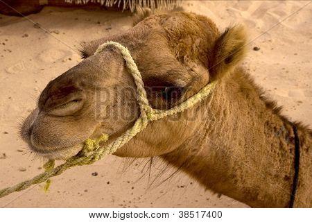 Douze,tunisia,camel